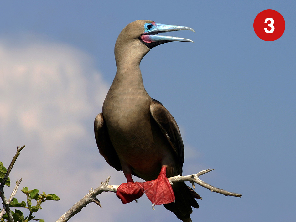 red-footer-booby